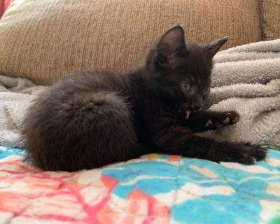 Bobtail Kitten