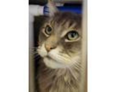 Adopt Phoebe a Gray or Blue Domestic Longhair / Domestic Shorthair / Mixed cat