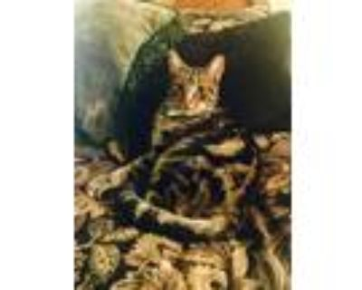Adopt Toby a Tan or Fawn Tabby American Shorthair / Mixed (short coat) cat in