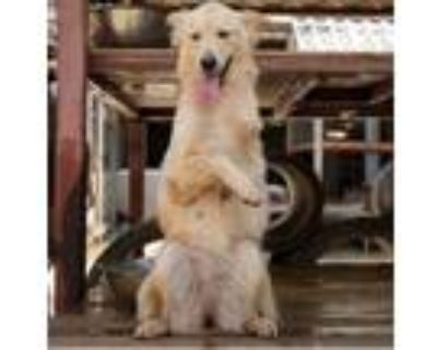 Adopt Jonita a Golden Retriever, Shepherd