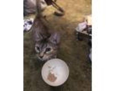 Adopt Momma a Tortoiseshell American Shorthair / Mixed (short coat) cat in
