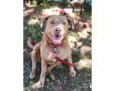 Adopt Princess Leia a Pit Bull Terrier, Labrador Retriever