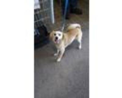 Adopt Harvey a Red/Golden/Orange/Chestnut Labrador Retriever / Beagle / Mixed