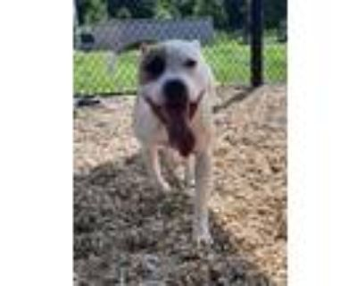 Adopt 47881537 a Pit Bull Terrier, Mixed Breed