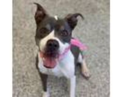 Adopt Lady a Gray/Silver/Salt & Pepper - with Black Pit Bull Terrier / Mixed dog