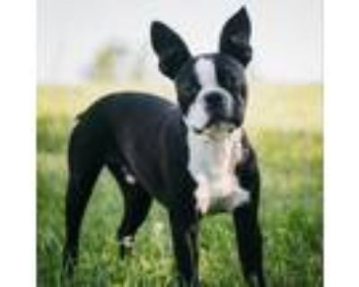 Adopt Milo a Boston Terrier / Mixed dog in Potomac, MD (31606497)