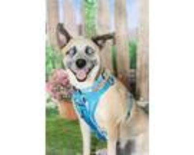 Adopt Angella a Australian Cattle Dog / Blue Heeler, Australian Shepherd