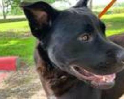 Adopt Rod a Labrador Retriever / Mixed dog in Houston, TX (25457205)