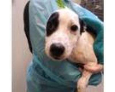Adopt Mars a White Labrador Retriever / Mixed dog in Merriam, KS (32066634)