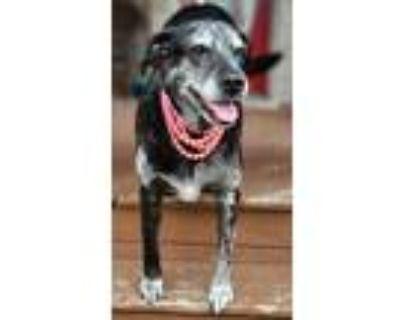 Adopt Mimi a Black - with White Labrador Retriever / Mastiff / Mixed dog in