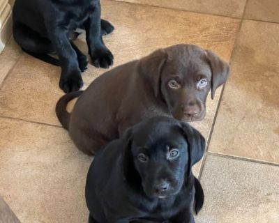 Labrador puppies ready 7 weeks old akc