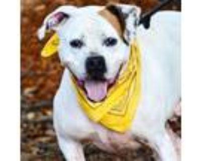 Adopt Wishbone a Pit Bull Terrier