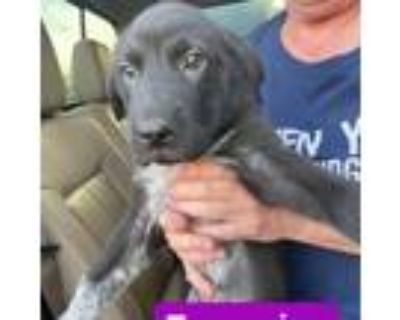 Adopt Turquoise a Black Labrador Retriever / Shar Pei / Mixed dog in Mission