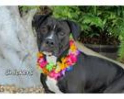 Adopt SNICKERS a Staffordshire Bull Terrier