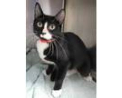 Adopt Lucy Blue a All Black Domestic Shorthair / Domestic Shorthair / Mixed cat