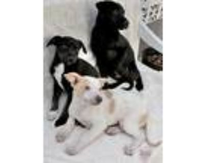 Adopt Tawny 6 Litter a Black - with White Beagle / German Shorthaired Pointer /