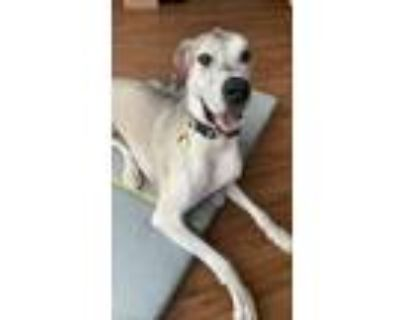 Adopt Kaiser a Tan/Yellow/Fawn Great Dane / Mixed dog in Inver Grove Heights