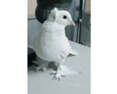 Courie, Pigeon For Adoption In Elizabeth, Colorado