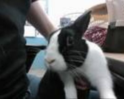 Adopt a Black Other/Unknown / Mixed rabbit in Albuquerque, NM (31638966)