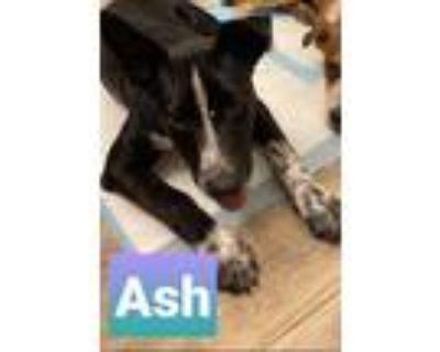Adopt Ash a Gray/Silver/Salt & Pepper - with Black Border Collie / Australian