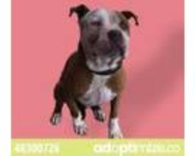Adopt 48300726 a Brown/Chocolate American Pit Bull Terrier / Mixed dog in El