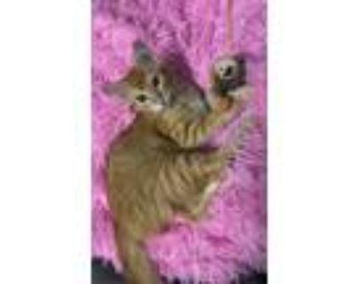 Adopt Marmalade a Maine Coon / Mixed cat in Calimesa, CA (32505035)