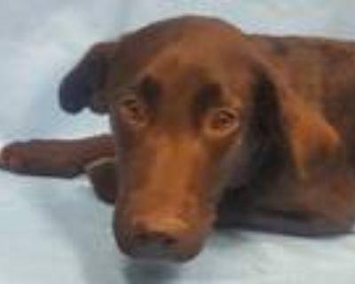Adopt Shadow a Black Labrador Retriever / Mixed dog in Coon Rapids