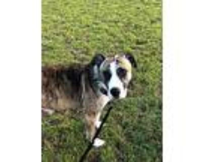 Precious, American Pit Bull Terrier For Adoption In Cameron, North Carolina