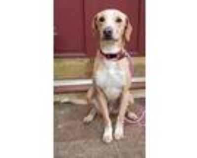 Adopt Red a Tan/Yellow/Fawn - with White Hound (Unknown Type) / Labrador