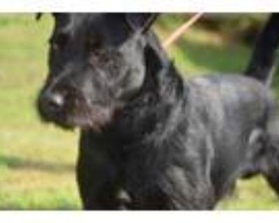 Adopt Sultan a Black Labrador Retriever / Terrier (Unknown Type