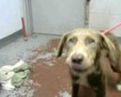 Adopt PORTER a Labrador Retriever, Weimaraner