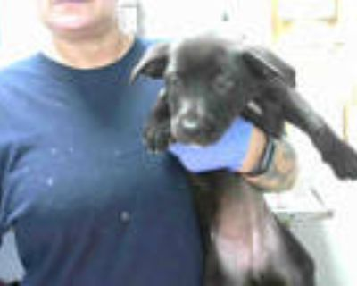 Adopt LACE a Black - with White American Pit Bull Terrier / Mixed dog in