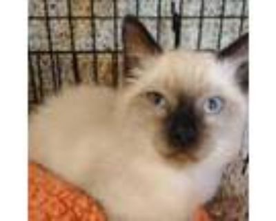 Adopt Fluffy a Cream or Ivory Domestic Shorthair / Mixed cat in Merriam
