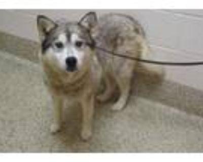 Adopt WIMBLEDON a Siberian Husky, Mixed Breed