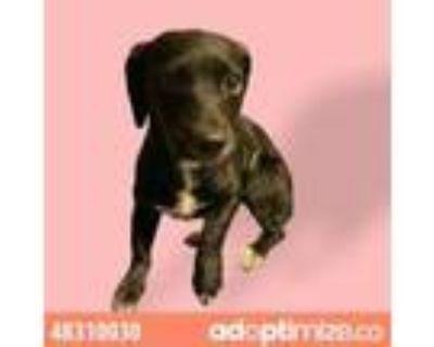 Adopt 48310030 a Black Dachshund / Mixed dog in El Paso, TX (32071732)