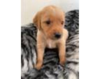 Adorable retriever puppies available