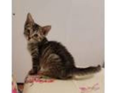 Adopt Scooby Doo a Domestic Short Hair