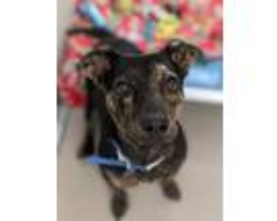 Adopt Cooper a Hound, Mixed Breed