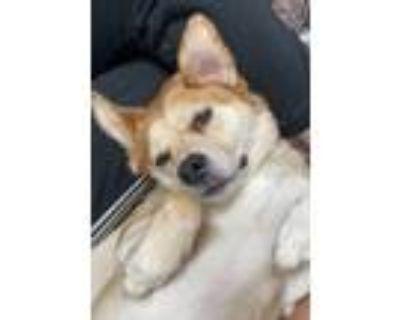 Adopt Buster a Shiba Inu, Labrador Retriever