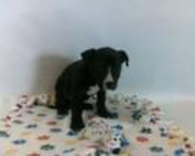 Adopt 21-07753 a Pit Bull Terrier
