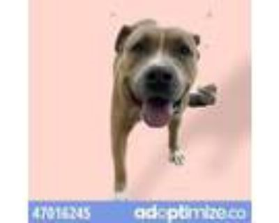 Adopt 47016245 a Pit Bull Terrier, Mixed Breed