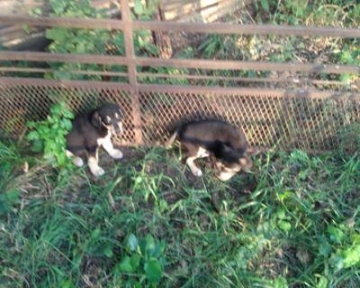 Doberman Great Pyrenees puppies