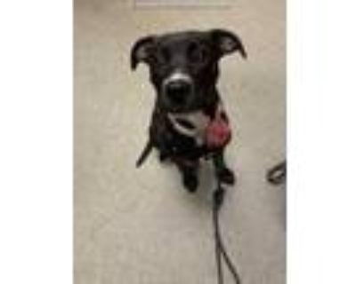 Adopt MOLLEE BELLE a Black - with White Labrador Retriever / Mixed dog in