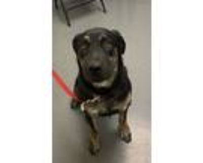 Adopt Hunter a Shepherd (Unknown Type) / Mixed dog in Albuquerque, NM (32096900)