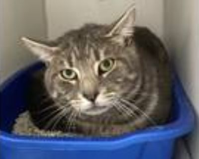 Adopt Adam a Gray, Blue or Silver Tabby Domestic Shorthair (short coat) cat in