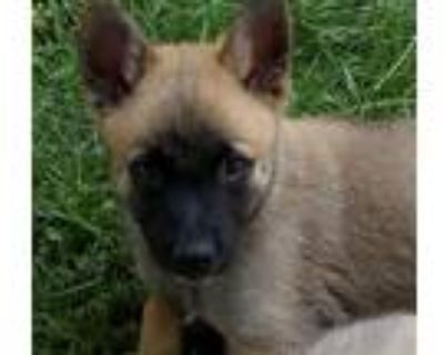 Adopt Meadow a Belgian Malinois / Mixed dog in Downey, CA (31491096)