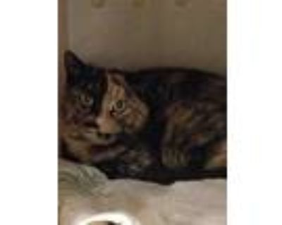 Adopt WONDER a Tortoiseshell Domestic Shorthair / Mixed (short coat) cat in