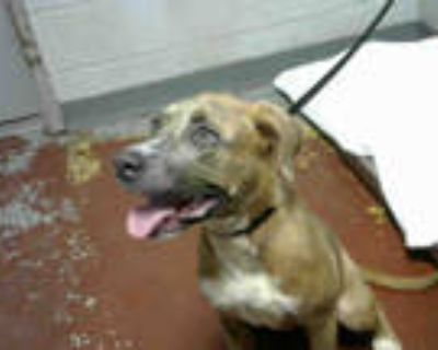 Adopt JADIS a Brindle - with White American Pit Bull Terrier / Mixed dog in