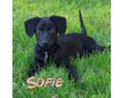 Adopt Sofie a Black Dachshund / Foxhound / Mixed dog in Mead, CO (31998341)