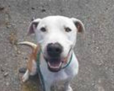 Adopt SKY a Tan/Yellow/Fawn - with White American Pit Bull Terrier / Mixed dog